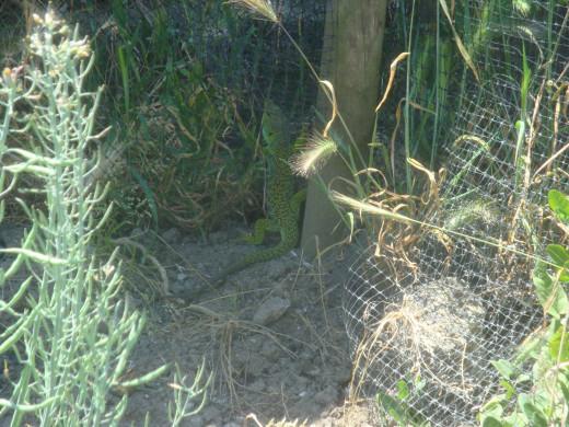 Iberian emerald lizard spotted on farmland.