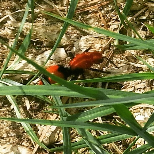 red velvet ant or mutillidae is a female wasp