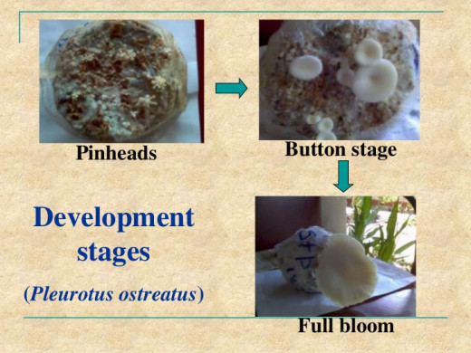 Pinhead And Button Stage Of All Mushrooms Are Similar
