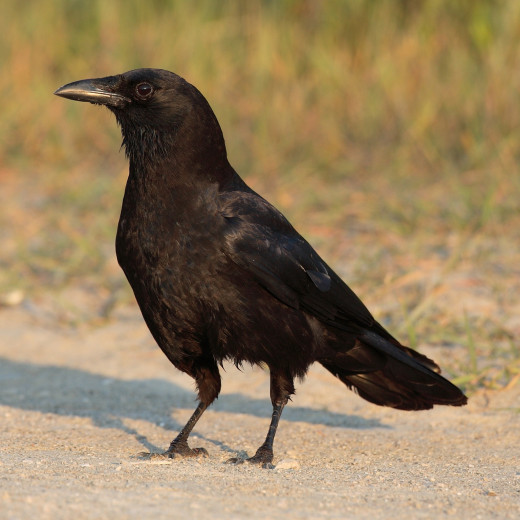 Actually, I love crows. I'd never eat one. They are the most highly evolved of all birds. Some researchers have even concluded that crows can count!! I think it might be true. I've heard it.