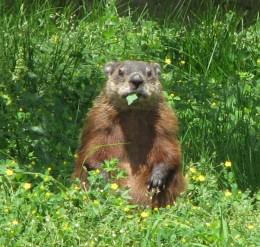 Groundhog (Marmota monax), Ottawa, Ontario