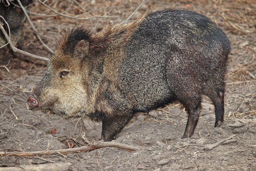 Javelina are not actually pigs.
