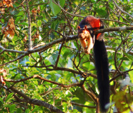 Malabar Giant Squirrel, spotted in Gavi, Kerala, India