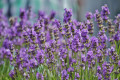 Lavender Oil Uses And Easy Ways To Make At Home
