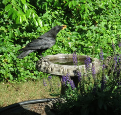 Is the crow that visits our bird bath killing our backyard birds?