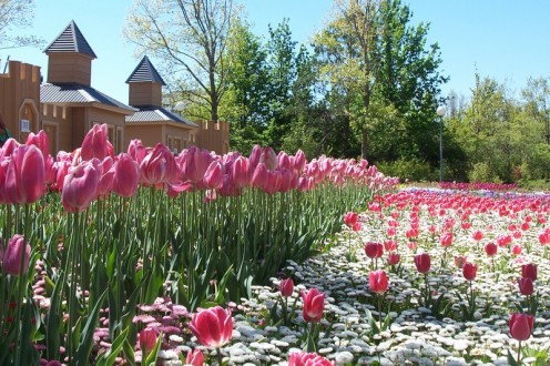 Tulips make a real impact when planted in large numbers.