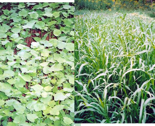 buckwheat +pearl millet