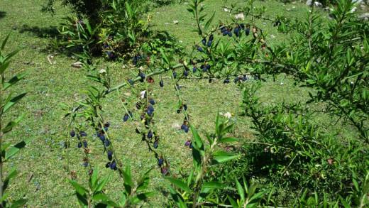 Flora 2 : wild berries