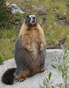 Well-fed yellow-bellied marmot