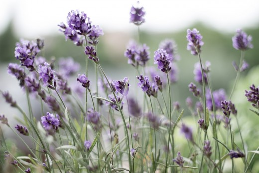 Lavender is a natural bug repellent that's also good for the soul. Lavender is known the world-over for its ability to calm the mind and ease stress.