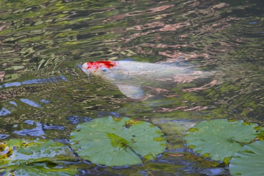 Keeping fish in your pond water garden is one way to make sure it doesn't become a breeding ground for mosquitoes.