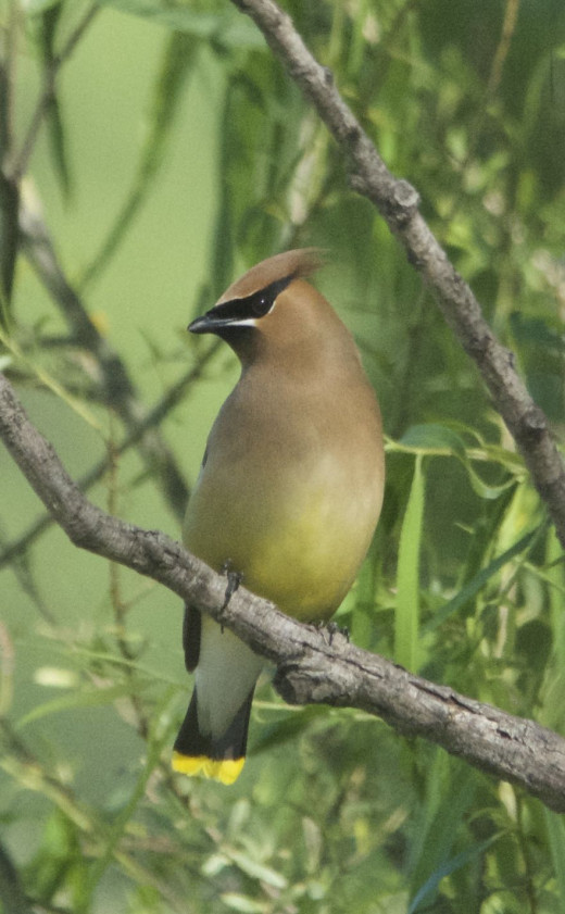 Well-Fed Cedar Waxwing