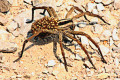The Taratula Spider - Interesting Facts and Information