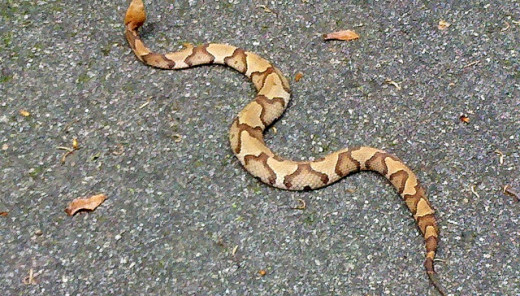 Another look at the copperhead's hourglass markings.