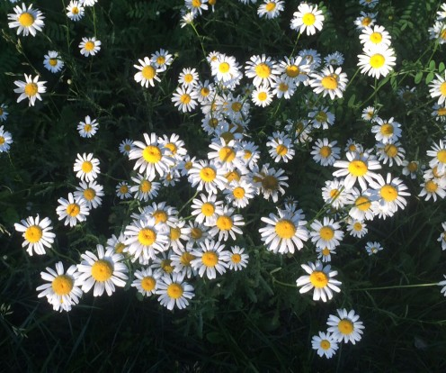 Wild daisies in the Ozarks