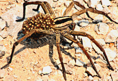 Female tarantula transporting her young to another location.