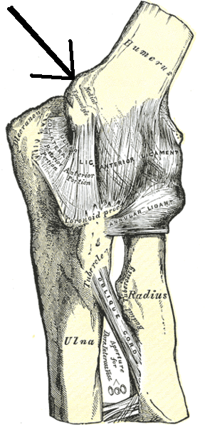 Medial epicondyle as indicated by the arrow