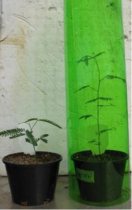 Shade and acacia growth