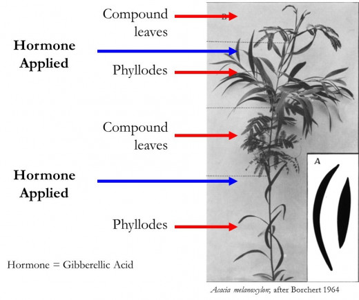 Giberellic acid and compound leaf growth