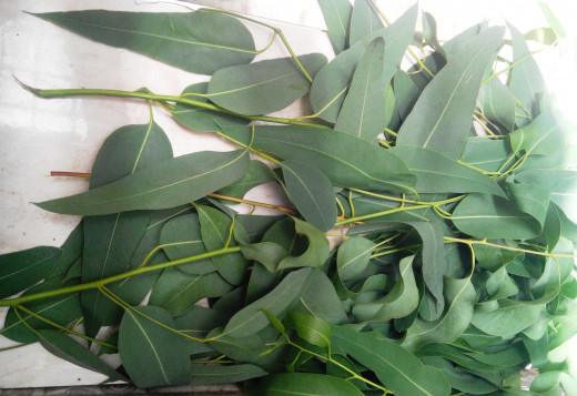 Eucalyptus leaves (source: lex123)