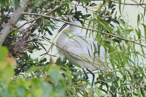 Snowy Egret passing a stick to his mate as she builds a nest.