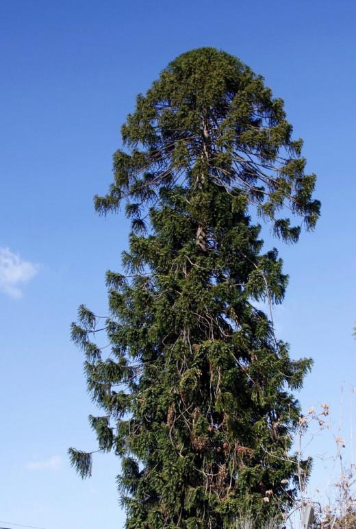 A bunya pine tree