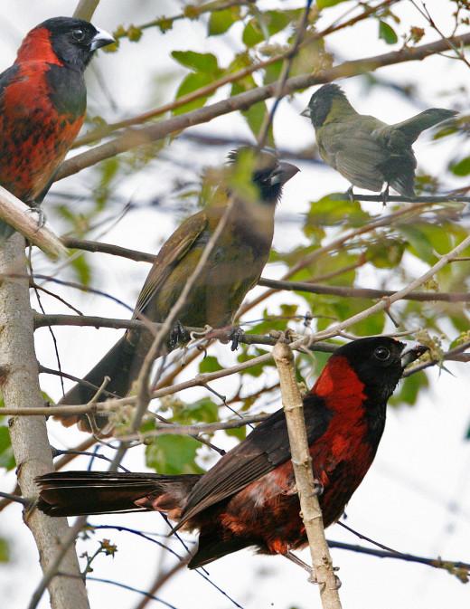 Crimson-colored Grosbeak From The Crossley ID Guide Eastern Birds