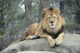 Henry the Lion at Henry Vilas Zoo in Madison, WI