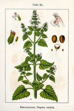 Cats get their high off catnip by inhaling the nepetalactone from a live plant, plucked leaves, dried herb material, or an essential oil extract.