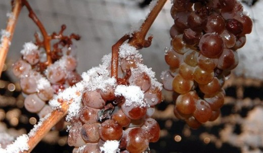 Ice wines or Eiswein, was originally developed in Austria and Germany. It was been noted as far back as the 1700's. The huge different way this wine is processed gives it the name. You actually press the grapes while they are still frozen and before.
