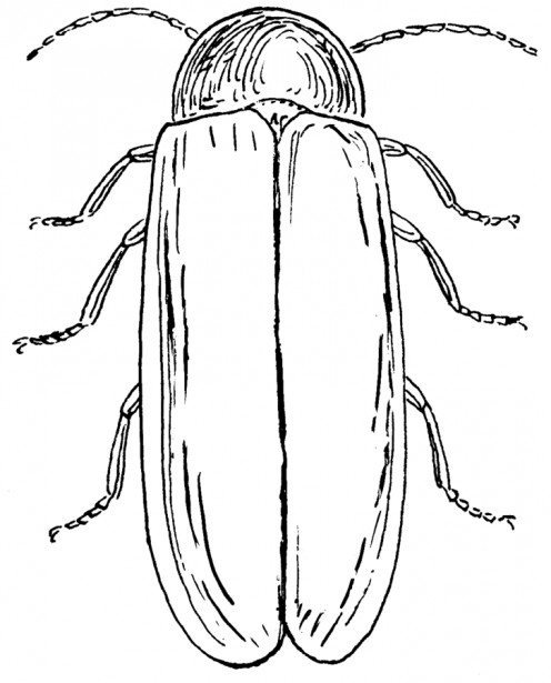 Drawing of a firefly