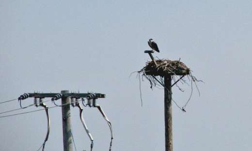 Osprey, nest: Photo by http://www.cgpgrey.com [CC BY 2.0 (http://creativecommons.org/licenses/by/2.0)], via Wikimedia Commons