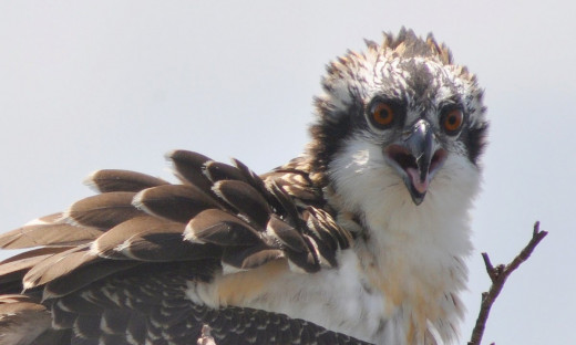Juvenile Osprey by dw_ross (http://www.flickr.com/photos/dw_ross/4777697731/) [CC BY 2.0 (http://creativecommons.org/licenses/by/2.0)], via Wikimedia Commons