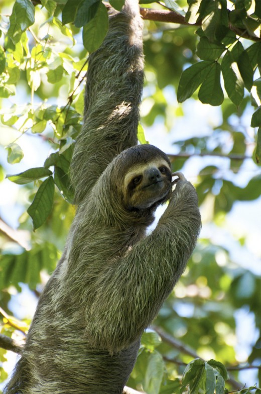 Sloths. Once related to land mammals that supposedly could beat-up giant cats with their claws. Now, not so much.