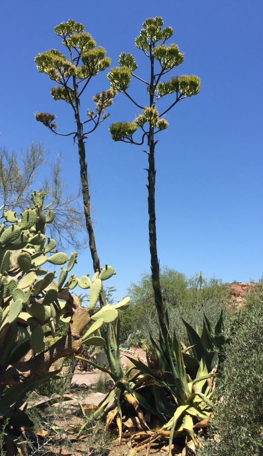 "This is maguey verde (Agave salmiana) in flower, the agave that the fermented drink ""pulque"" is made from.  But for it to yield its aguamiel, the timing has to be perfect. Once it flowers, like these two specimens, it's too late."