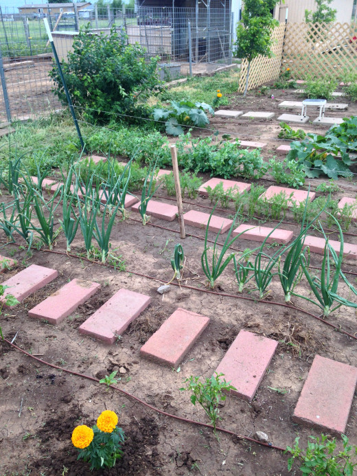 Onions!!! Carrots!!!!