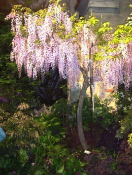 This Wisteria has been pruned into a tree form
