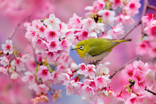 Sakura/Cherryblossom