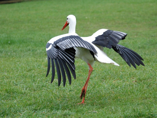 The white stork has beautiful contrasting colors of black and red.