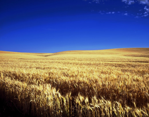 A wheat field in Kansas, which is part of the Tornado Alley.