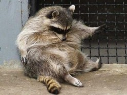 Drunk Raccoons are a thing... and pretty much the best thing ever.
