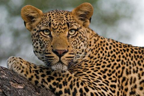 The Leopard has no tearlines