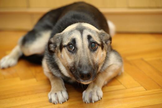 Prior trauma can create a powerful fear-drive in a dog.