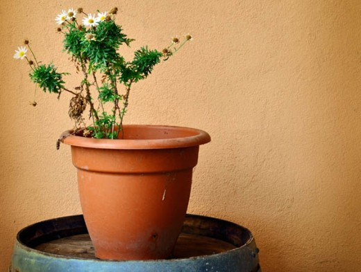 A plant struggling desperately for life in a pot way too big for it