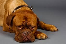 Sick dog from toxic algae