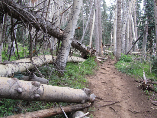A thick forest of aspen trees dominates the first mile of the trail up the mountain.
