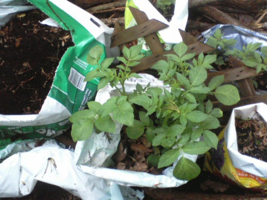 "It's time to unroll the sides of the bags to deepen them, then add more potting soil or semi-composted leaves to ""earth up."" This gives the plant more room to create baby potatoes which will grow into full-size tubers."