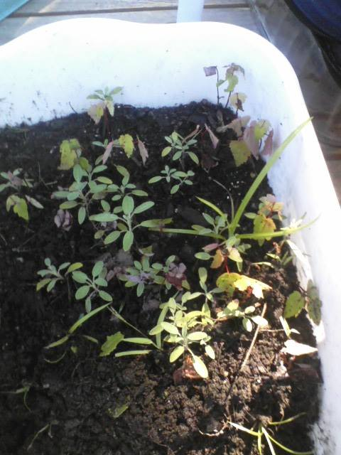 Herbs are often shallow-rooted and spread horizontally, so a plastic displan will work to get them started.  There are a few maple seedlings here and there I need to pull out.