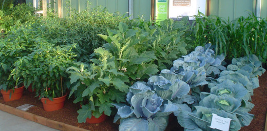 Pots are ideal for succession planting of vegetables and herbs
