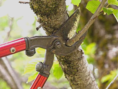 Better pruning and healthy trees required an understanding of how trees repair damage and seal cuts.